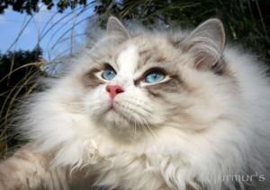 Murmur's_Siberian_Cat_Ermes
